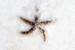 Морские звёзды, который замерли в льде Стоковое Фото