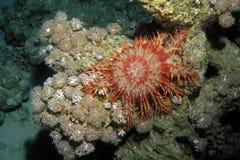 морские звёзды Крон--терниев Стоковые Фотографии RF