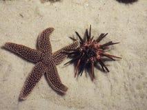 Морские звёзды & мальчишка моря Стоковые Изображения RF