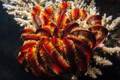 Морские звёзды пера стоковая фотография