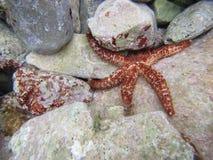 Морские звёзды под водой Стоковая Фотография