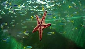 Морские звёзды Стоковые Фото