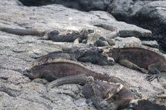 Морские игуаны на островах Галапагос стоковые изображения rf