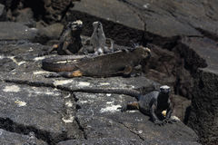Морские игуаны на утесе лавы Стоковые Изображения RF