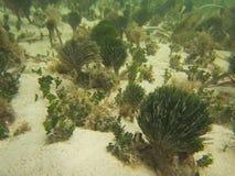 Морские известняковистые водоросли Стоковые Изображения