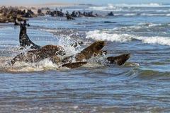 Морские котики накидки стоковое фото rf