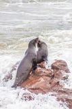 Морские котики накидки Стоковое Изображение