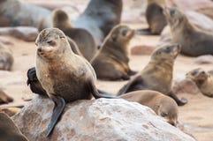 Морские котики накидки Стоковая Фотография RF