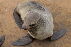 Морские котики накидки Стоковая Фотография