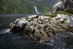 Морские котики, Milford Sound, национальный парк Fiordland, южный остров, Новая Зеландия Стоковые Фото