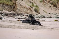 Морские львы на пляже на полуострове Otago, южном острове, Новой Зеландии стоковая фотография
