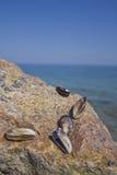 Морские мидии Стоковая Фотография RF
