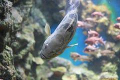 Морские окуни или морские окуни Стоковая Фотография RF