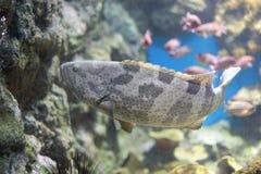 Морские окуни или морские окуни Стоковая Фотография