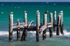 Морские птицы отдыхая на старой покинутой пристани в Майя Ривьеры, Мексике Стоковые Фото