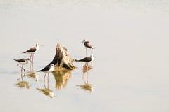 Морские птицы стоя вокруг пня с отражением в отмелом wa Стоковое Фото