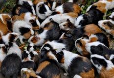 Морские свинки в Qingdao, Китае стоковые изображения