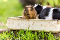 Морские свинки сидя в шаре еды стоковое изображение rf