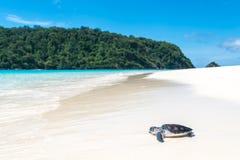 Морские черепахи на пляже стоковые фотографии rf