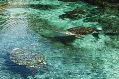 Морские черепахи ныряя в мелководье Черепахи в окружающей среде Тропическая живая природа seashore стоковая фотография