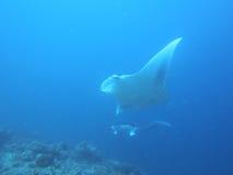2 морского дьявола летая как птицы Стоковая Фотография RF