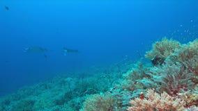 2 морского дьявола на коралловом рифе видеоматериал