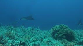 2 морского дьявола на коралловом рифе сток-видео