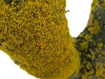 Морское parietina Xanthoria лишайника sunburst на стержне дерева, Стоковое Фото