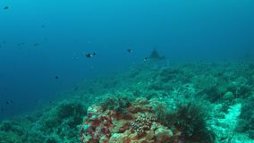 Морской дьявол на коралловом рифе 4k видеоматериал