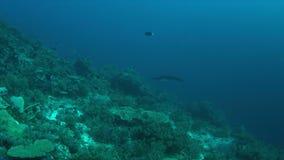 морской дьявол 4k на коралловом рифе сток-видео