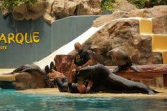 Морской лев на выставке Стоковое Изображение