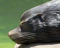 Морской лев Стоковое Изображение RF