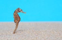 Морской конек в песке Стоковое Фото