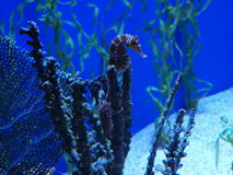 Морской конек на коралле Стоковые Изображения