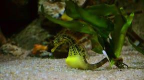 Морской конек Стоковое фото RF