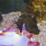 Морской конек Стоковые Изображения RF