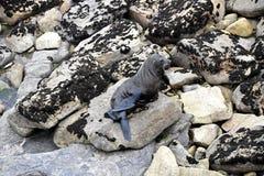 Морской котик - живая природа NZ стоковые изображения