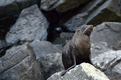 Морской котик - живая природа NZ NZL Новой Зеландии стоковые изображения