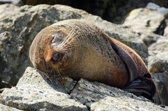 Морской котик - живая природа NZ NZL Новой Зеландии стоковая фотография rf