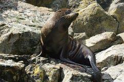 Морской котик - живая природа NZ NZL Новой Зеландии стоковые фотографии rf