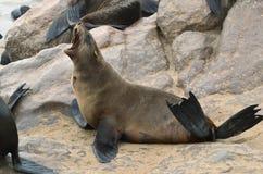 Морской котик на кресте накидки, Намибия накидки стоковое фото rf