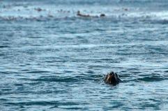 Морской котик на острове белковой частицы стоковые фотографии rf