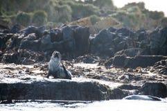 Морской котик на острове белковой частицы стоковое фото