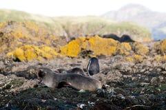 Морской котик на острове белковой частицы стоковая фотография rf