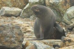 Морской котик Новой Зеландии на утесах стоковые фотографии rf