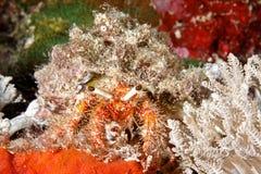 Морской краб затворницы Стоковая Фотография