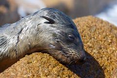 Морской лев лежа вниз на утесе стоковые фото