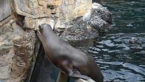 Морской лев получая рыб в его рте на Seaworld сток-видео