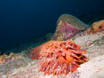 Морской огурец ананаса стоковое изображение rf