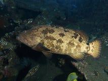 Морской окунь картошки Стоковые Фото